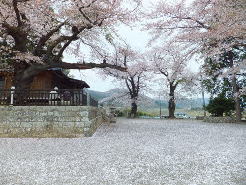 桜の花びらが敷き詰められた鷲神社の境内 (町庭坂)